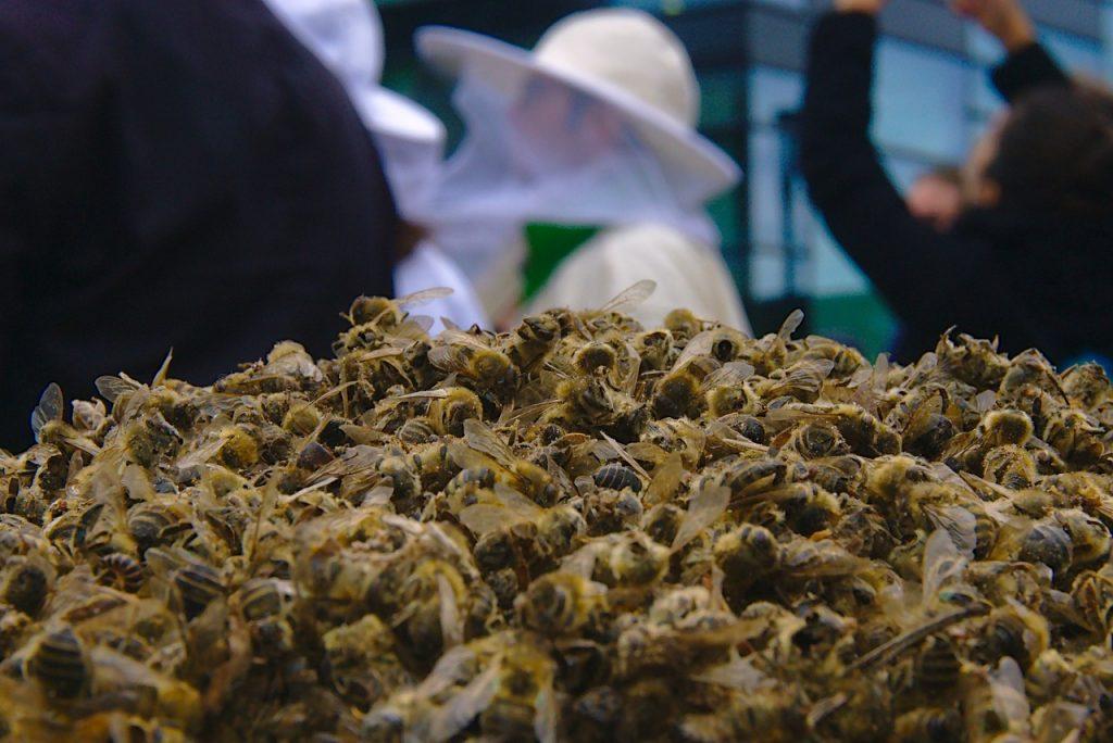 abeilles mortes en grande quantité